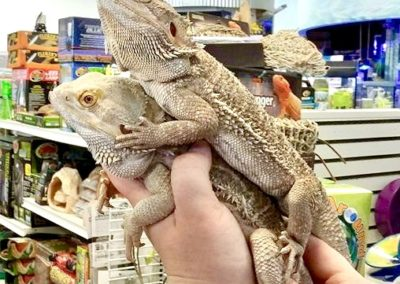 Adult Bearded Dragons