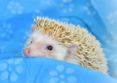 Hedgehogs